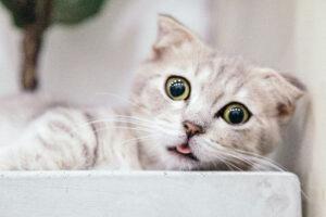 worst Hypoallergenic cats