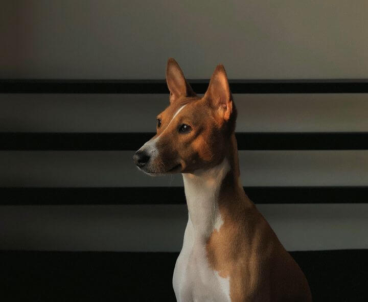 Basenji Hypoallergenic Dog