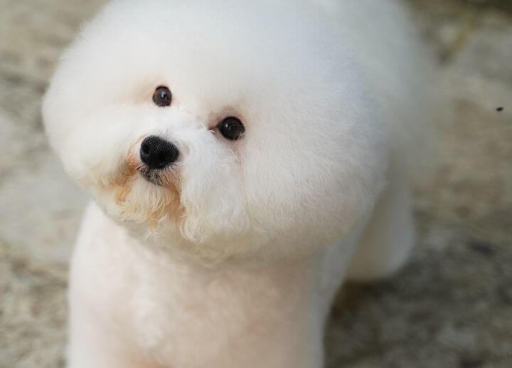 Bichon Frise Hypoallergenic Dog