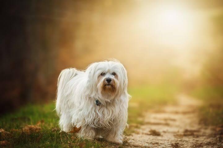 Havanese Hypoallergenic Dog breeds