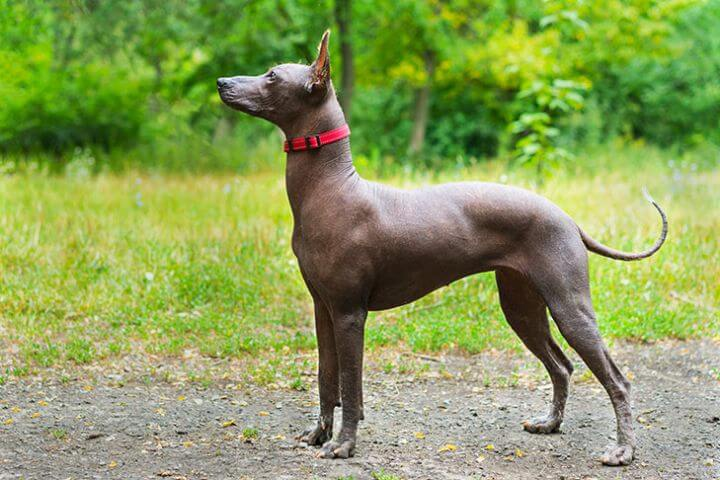 Xoloitzcuintli - Hypoallergenic dog breeds