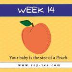 Week 14 pregnant